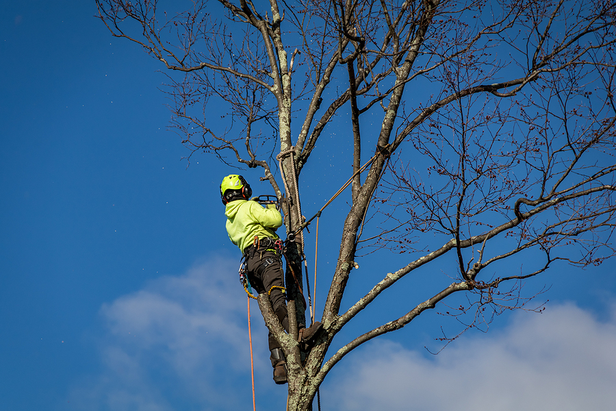 Arborist wearing ropes and harness trims tall birch tree